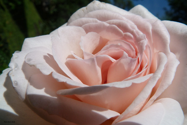 ROSES - Aout .