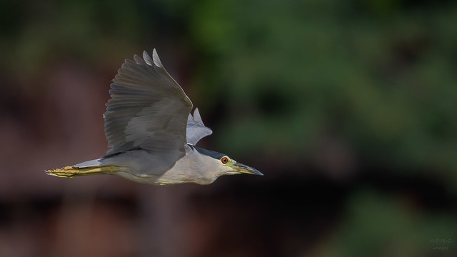 Black-crowned Night Heron  2955