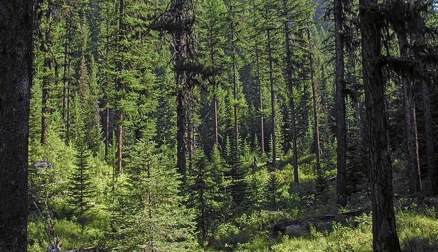 Forest in the Brushy Fork. Idaho near the Montana border.