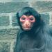 "<p><a href=""https://www.flickr.com/people/tommyajohansson/"">tommyajohansson</a> posted a photo:</p>  <p><a href=""https://www.flickr.com/photos/tommyajohansson/50499302351/"" title=""Guiana spider monkey""><img src=""https://live.staticflickr.com/65535/50499302351_f666ecf27c_m.jpg"" width=""160"" height=""240"" alt=""Guiana spider monkey"" /></a></p>"