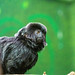 "<p><a href=""https://www.flickr.com/people/tommyajohansson/"">tommyajohansson</a> posted a photo:</p>  <p><a href=""https://www.flickr.com/photos/tommyajohansson/50499302811/"" title=""Goeldi&#039;s monkey""><img src=""https://live.staticflickr.com/65535/50499302811_504c03cb2c_m.jpg"" width=""240"" height=""160"" alt=""Goeldi&#039;s monkey"" /></a></p>"