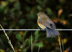 Red Flanked Bluetail 5