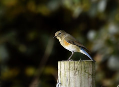Red Flanked Bluetail 4