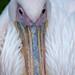 "<p><a href=""https://www.flickr.com/people/tommyajohansson/"">tommyajohansson</a> posted a photo:</p>  <p><a href=""https://www.flickr.com/photos/tommyajohansson/50499317986/"" title=""Pelican portrait""><img src=""https://live.staticflickr.com/65535/50499317986_dfae00fe51_m.jpg"" width=""160"" height=""240"" alt=""Pelican portrait"" /></a></p>"