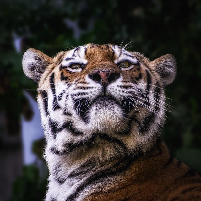 Tiger is Happy