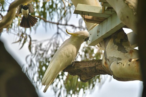 Sulphur -crested Cockatoo ( willie wagtail not given up ) | by friendsintheair