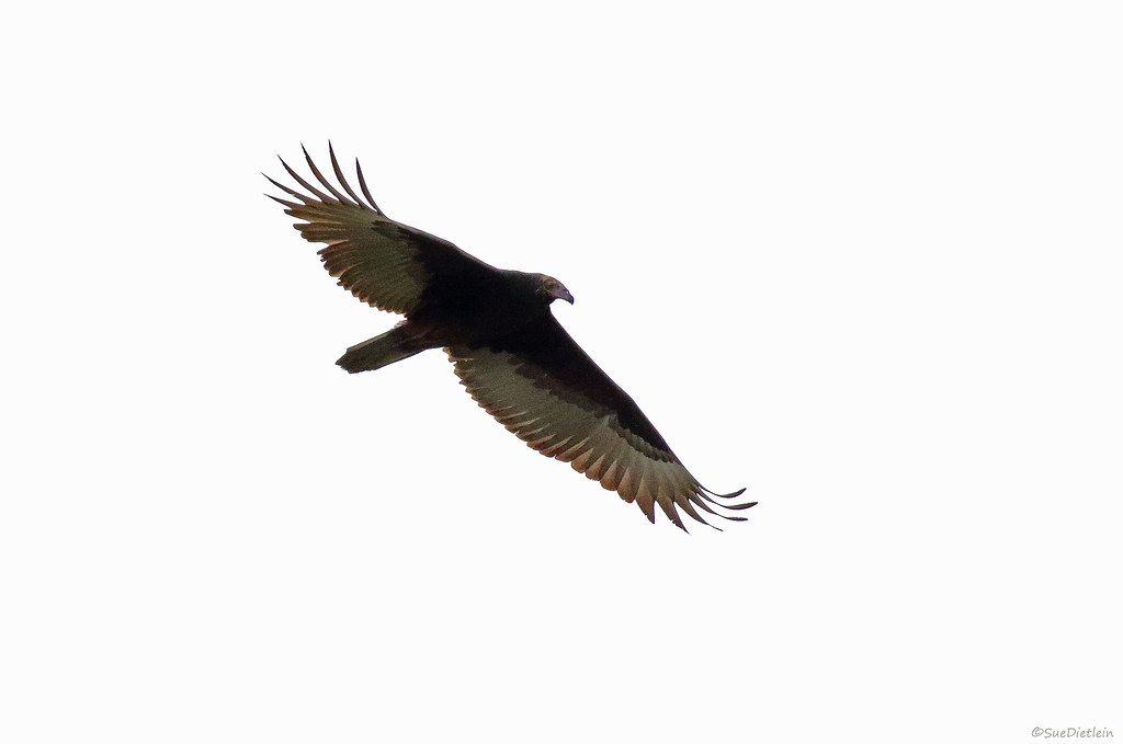 Turkey Vulture - 094A4233b1c