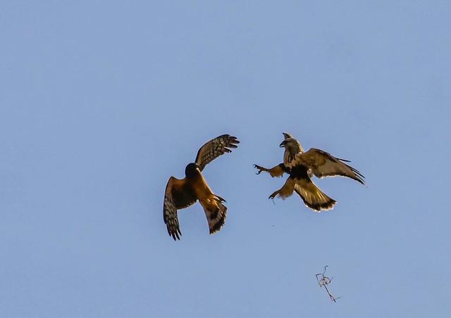 Juveniles (N. Harrier and Rough-legged) hawks - dispute