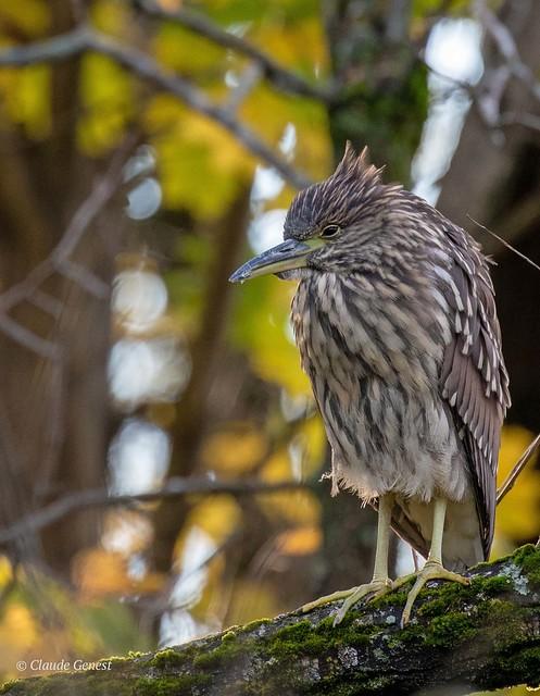 Bihoreau  gris ( Juvénile ) Black-crowned Night Heron               ( juvenile )