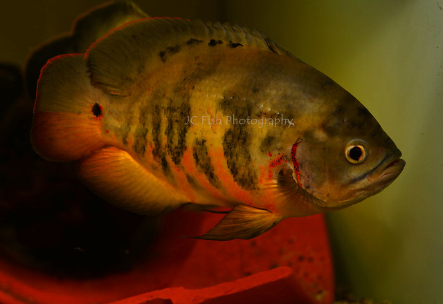 Astronotus Ocellatus Bahia Red
