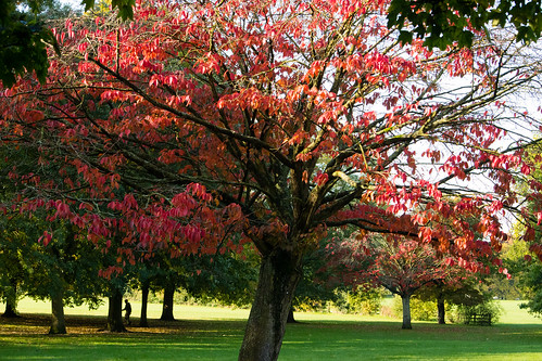 Red autumn leaves,cherry, Bantock