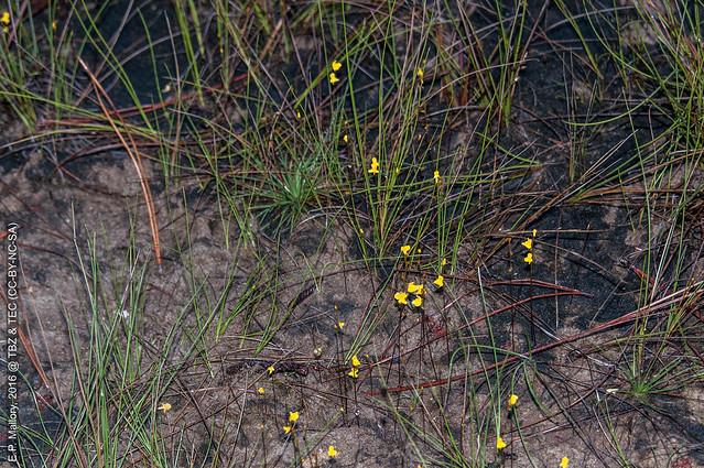 2016-04-05 1700_Ac-1988 Utricularia guyanensis & other spp. - E.P. Mallory