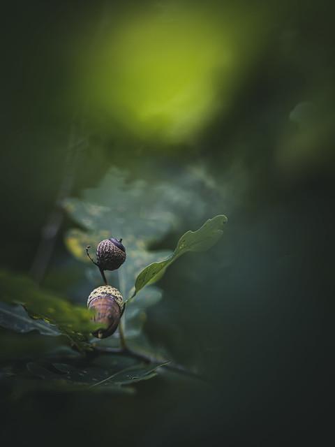 Oak Seeds
