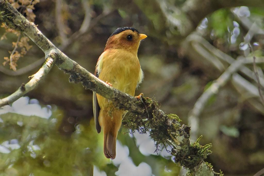 Caneleirinho-de-chapéu-preto (Piprites pileata) macho
