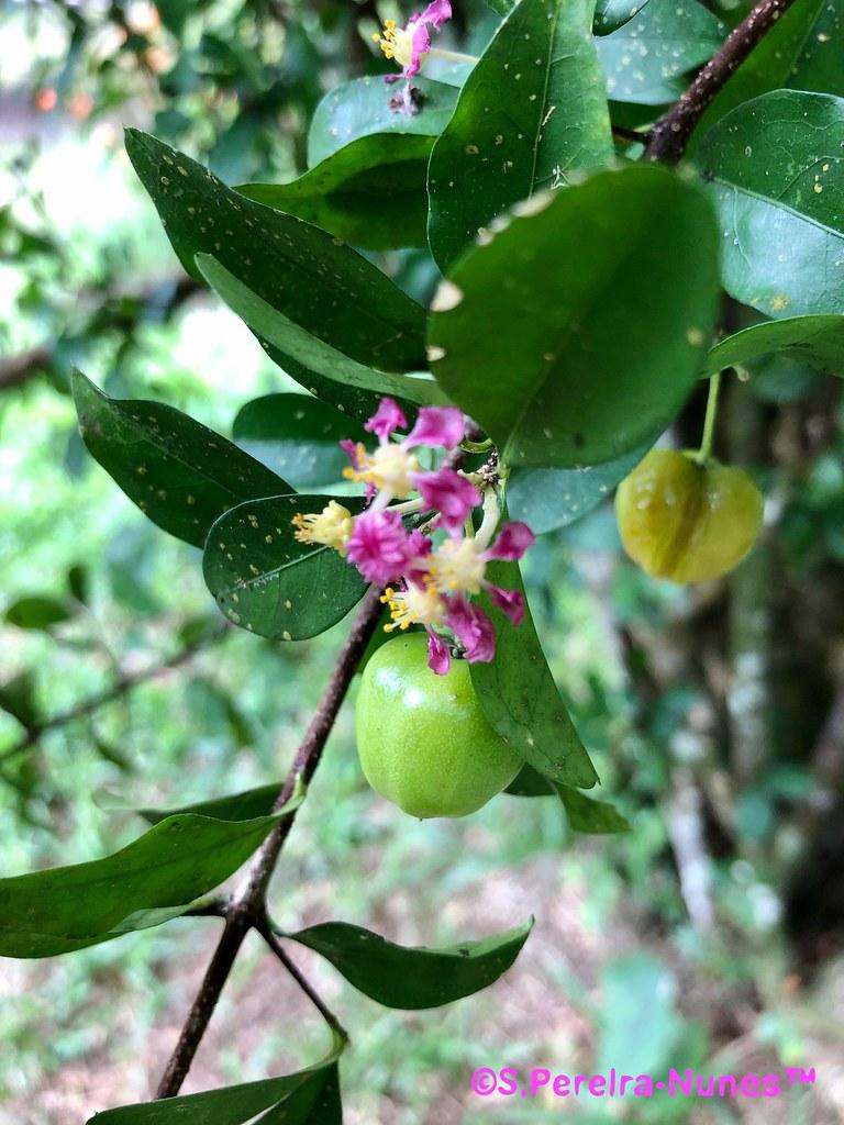 Acerola em flor, Flowering  Acerola (Surinam Cherry), Bergendal Resort, Suriname