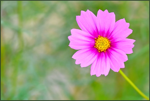 flower cosmo cosmos d850 sigma105 california pinkcosmo bokeh creamybokeh wildflowers autumn fall