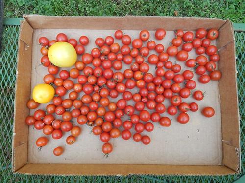 Mid-October tomato harvest