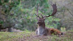 Male deer resting