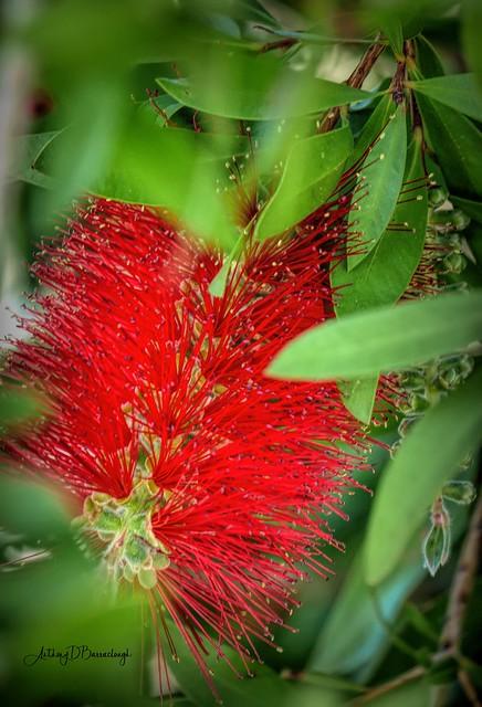 Callistemon flower 616