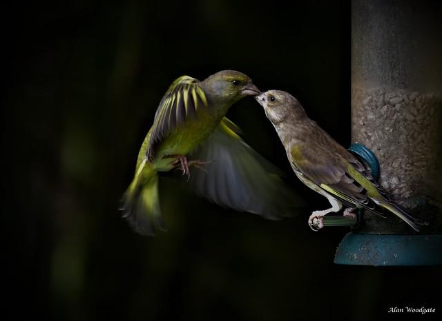 Greenfinches - Summer lys LNR