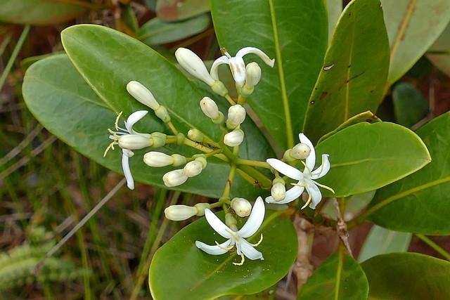 Coelospermum crassifolium
