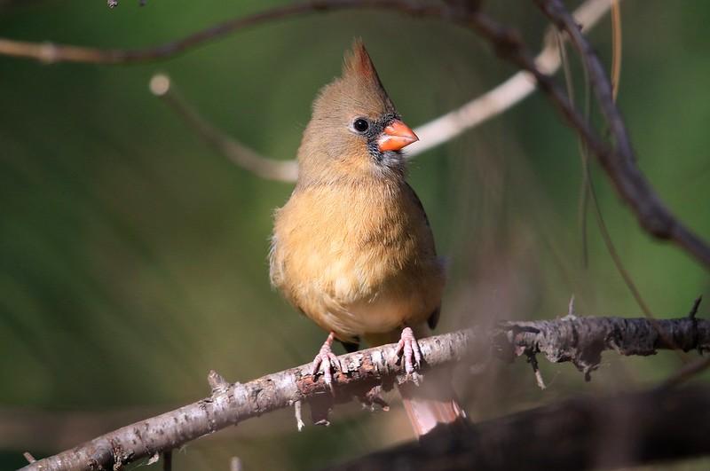 northern cardinal female at Lake Hendricks IA 653A4226
