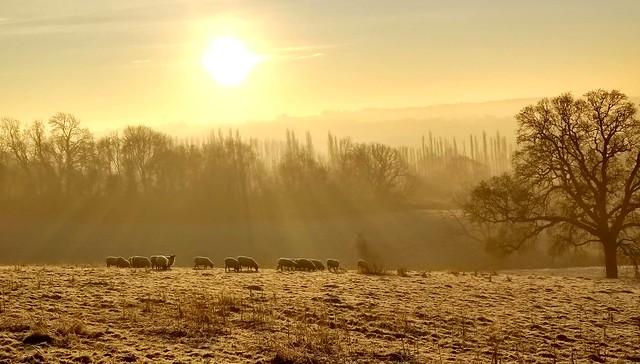 Sheep on a misty morning