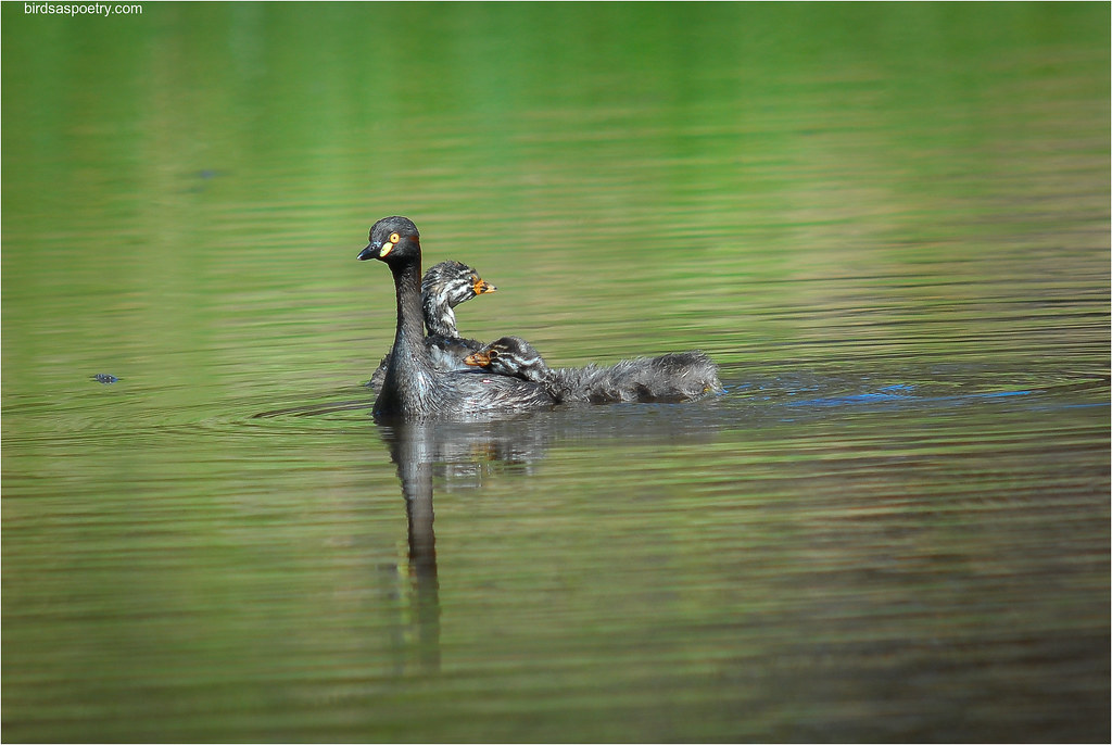 Australasian Grebe: Hitching a Ride