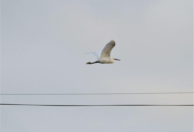 Little Egret - Flight Lines
