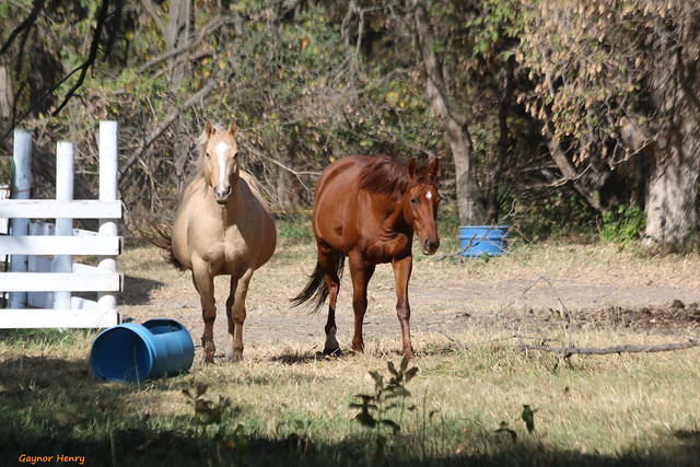 The Gun Club Rd Horses
