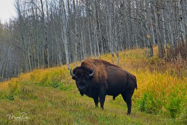 Autumn Bison