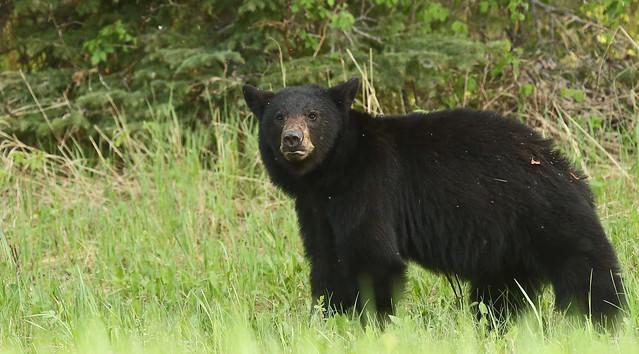 Black Bear...#15