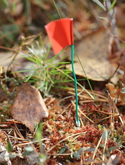 A brush-wire installed among S. capillifolium