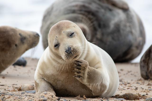 Horsey Gap Norfolk-Common Seal