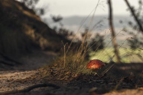 nature landscape landscapes macro fly agaric flyagaric mushroom mushrooms fungi ladybug autumn fall light wood forest sun sunlight saxony switzerland natur landschaft makro fliegenpilz pilz pilze marienkäfer herbst licht wald sonne sonnenlicht sächsische schweiz sachsen nikon tamron