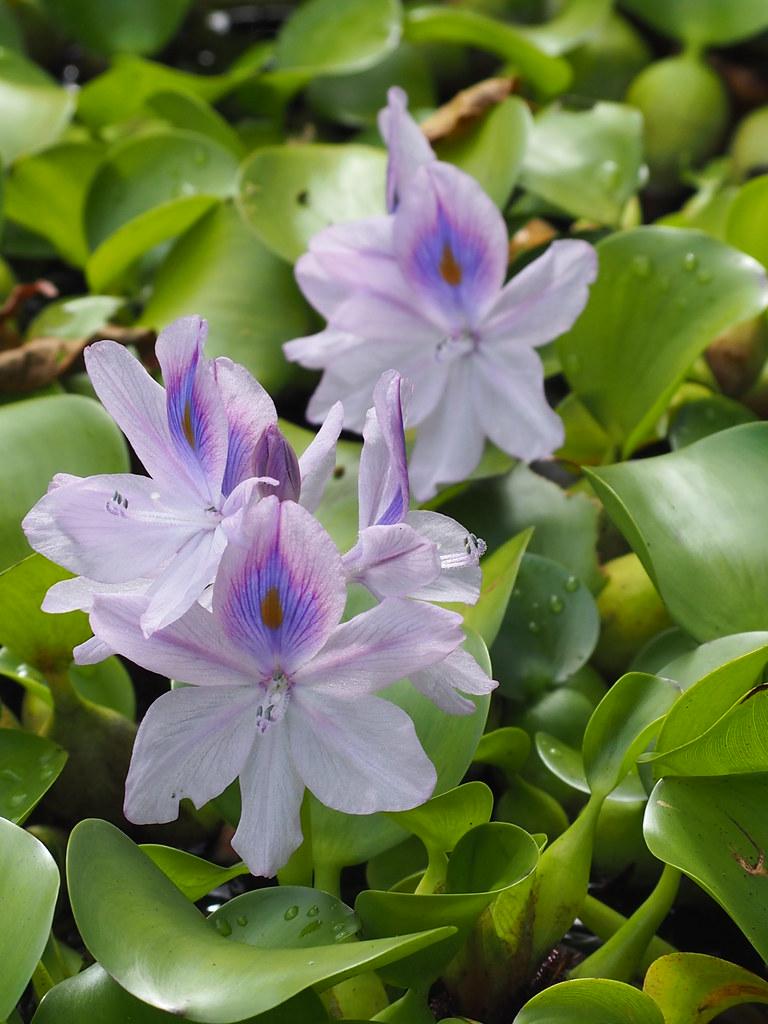 ホテイアオイ(布袋葵、学名:Eichhornia crassipes)