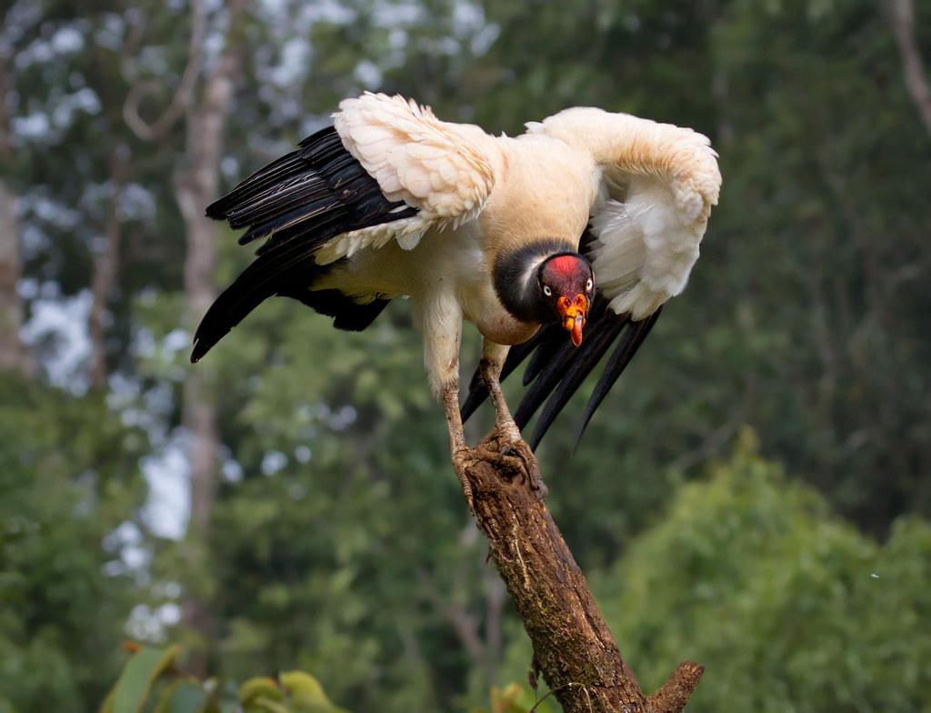 King Vulture - Sarcoramphe roi