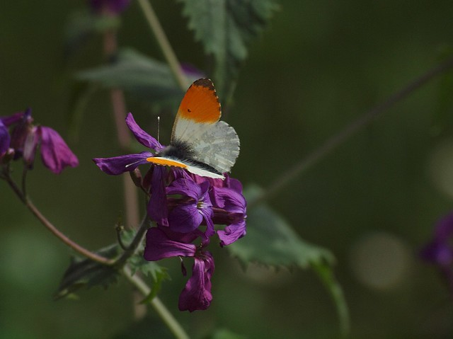 Aurora-Falter-Mann Spring