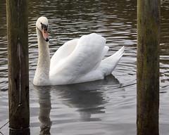 Swan framed