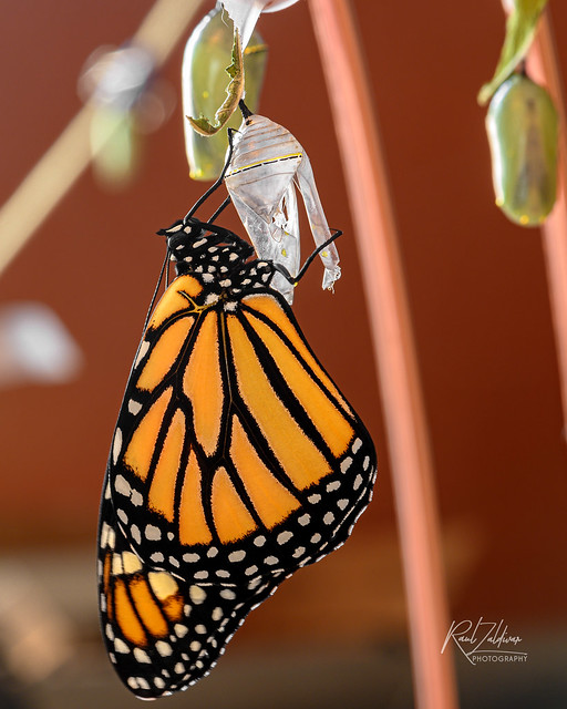 Emerging Monarch #24