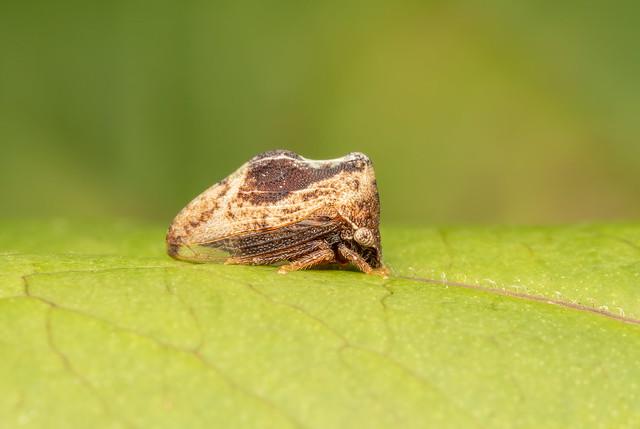 Treehopper possibly Entylia sp.