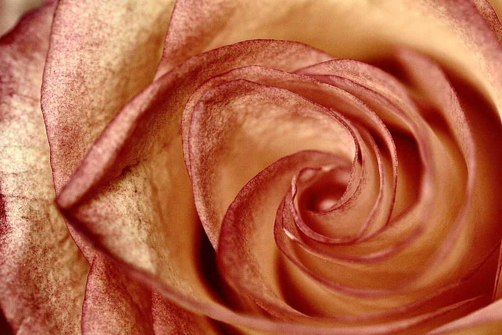 Macro Rose #macro #rose #macroflowers##flowers#canon#canonl#canon100m#canon100mm