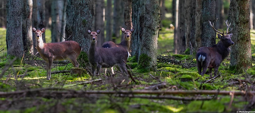 Sika in forrest | by Bir18