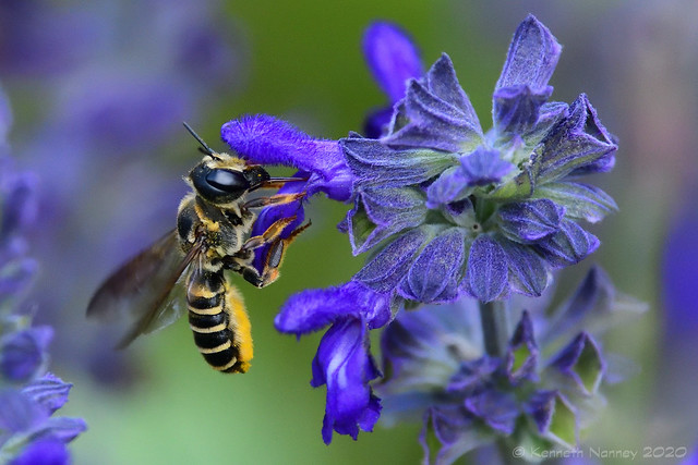 LEAFCUTTER BEE 6