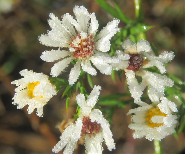 frosted frost asters