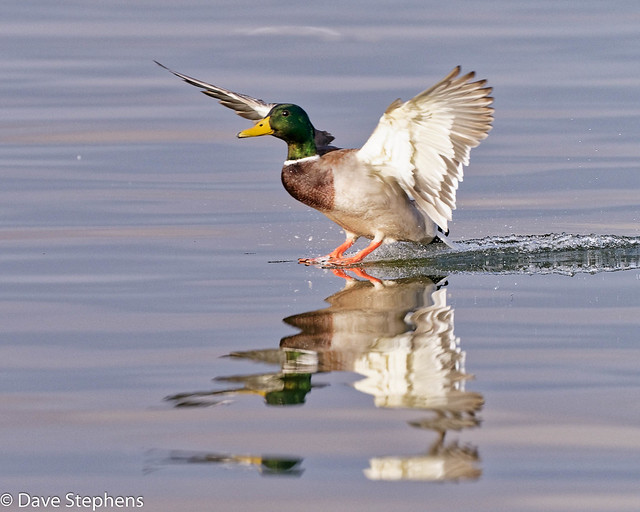 Mallard Drake Lands On Glassy Water