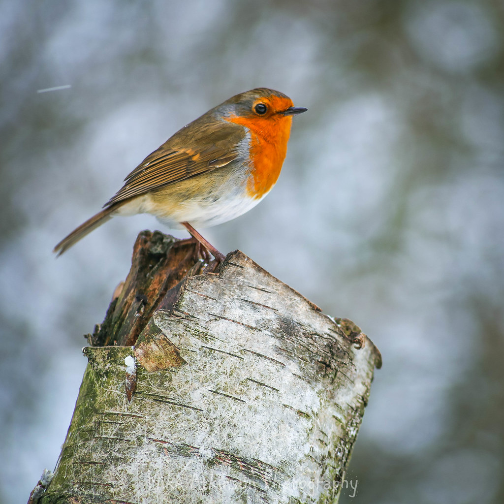 Robin In The Snow (4)