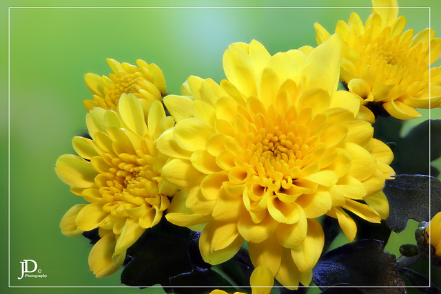 chrysanthemums 2