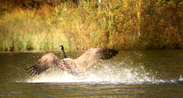 Canada goose, Branta canadensis, Kanadagås