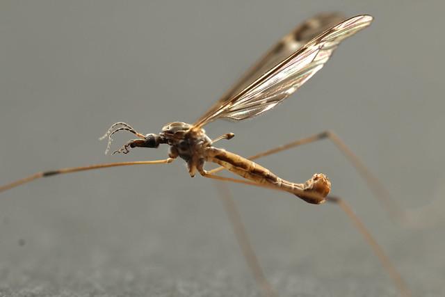 Crain fly